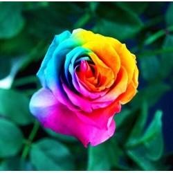 Balení 200 semen duhových růží