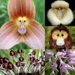 Semínka opičích orchideí - 20 semen