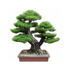 Semeno japonské PINE TREE Bonsaie